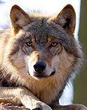 Wolfcenter - Niedersachsen