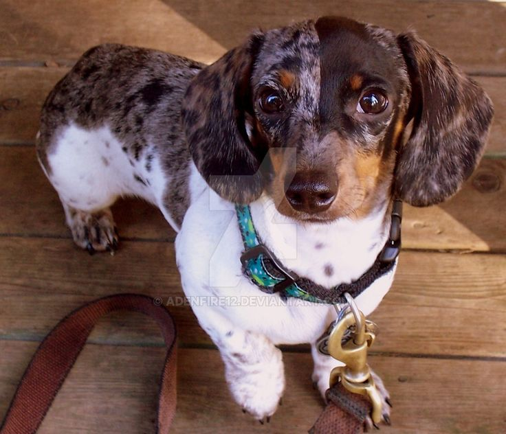 This is my mini dachshund puppy at 4 months old. He is a Silver dapple piebald
