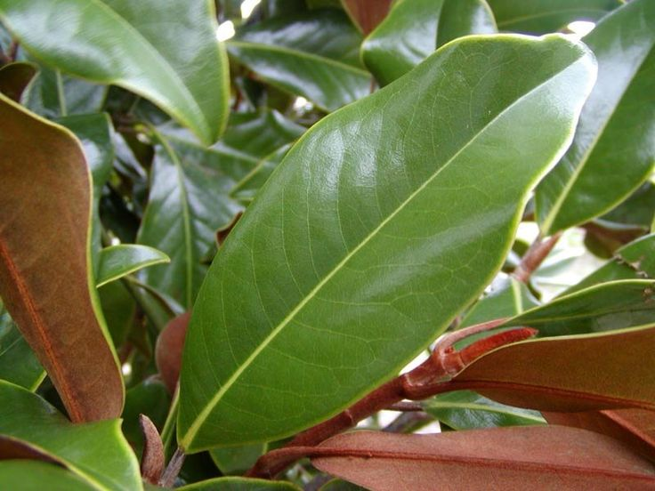 Variety: Magnolia Colour: Green/Tan Quantity: 5 stems approx. Price: £10