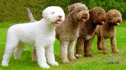 The Lagotto can have large round eyes in any color from dark yellow to dark brown. Their wooly waterproof coat is very thick and curly. Solid colors include off white, white, and brown. They can also be white with brown or orange patches or roan. It is a medium sized dog that is low shedding. A Lagotto often has white markings that grow out as an adult.