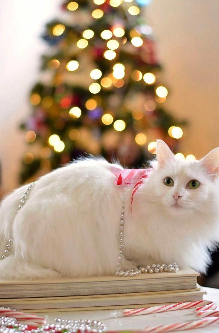 Merry Christmas World Year Of Our Lord 2016 Ccp Angoracats In 2020 Christmas Cats Merry Christmas Cat Christmas Cat Photos