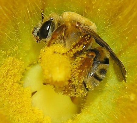 honeybee in a yellow flower full of pollen