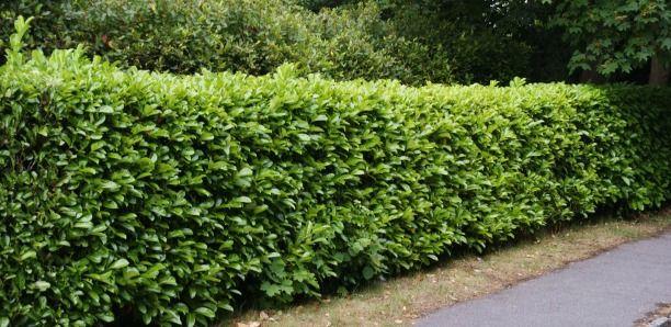 Laurel Hedging Plants for sale online