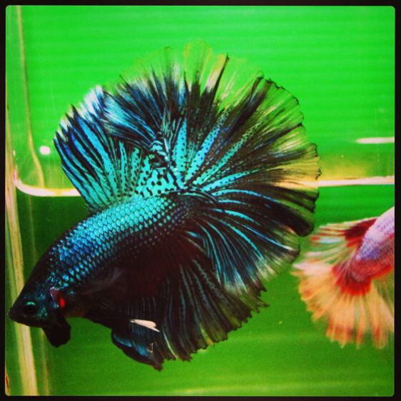 126 best images about betta fish on pinterest black gold for Black betta fish for sale