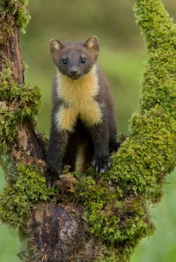 beautiful-wildlife:  Wild Pine Martin Kit - Scotland by Wendy Salisbury