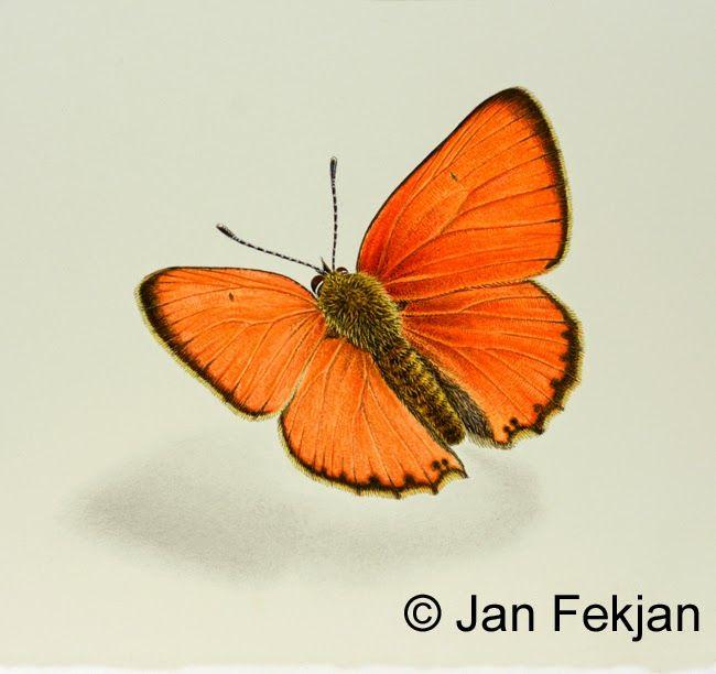 Jan Fekjan: Østlandsk gullvinge, hann