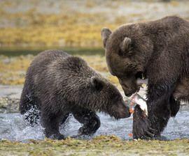 oso pardo, oso pardo, marrón fotos del oso, imágenes Oso Grizzly, cachorro del grisáceo, cachorro de oso pardo, pardo pesca, el Parque Nacional de Katmai, Parque Nacional de Katmai, estados unidos fotos de la fauna, la vida silvestre de Alaska, osos de Alaska, Alaska fotos