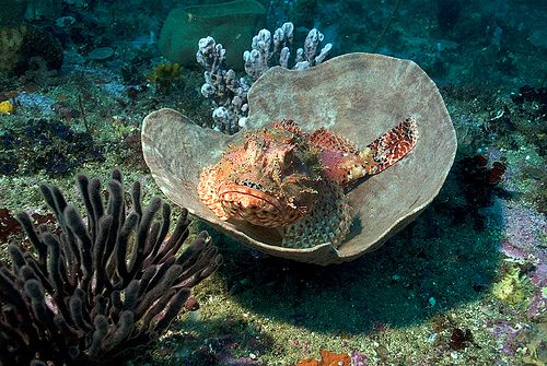 Red Rock Cod - Bawley Point | Flickr - Photo Sharing!