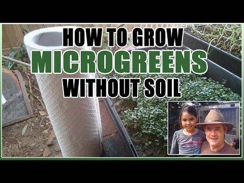 How To Grow Microgreens at Home Without Soil Martys Garden Style - YouTube