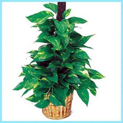 sarmaşık bakımı nasıl yapılır, sarmaşık bitkisi bakımı nasıl yapılır, sarmaşık bitkisi bakımı, sarmaşık, sarmaşık bitkisi yetiştiriciliği, sarmaşık çiçeği, sarmaşık bitkisi bakımı, sarmaşık bakımı, sarmaşık bitkisi, pothos bitkisi, pothos bitkisi bakımı, pothos bitkisi bakımı nasıl yapılır,