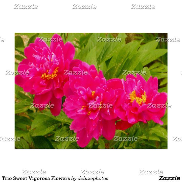 Trio Sweet Vigorosa Flowers Postcard