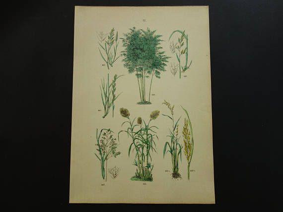 GRASSES old botanical print of Grass species 1884 original