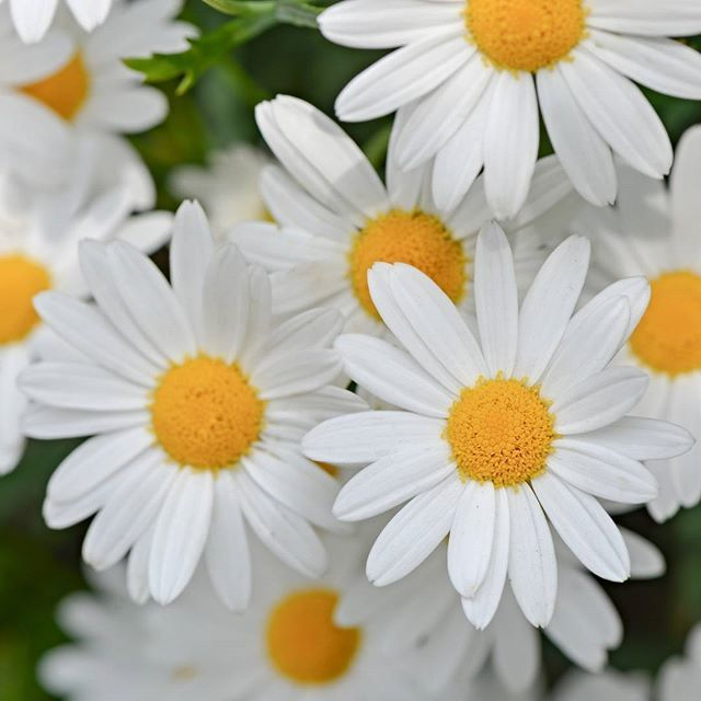 Daisies may be as old as the dinosaurs! Resting alongside dinosaur bones, researchers have discovered grains of fossilized pollen that are from the same family as the popular flower. Daisies were originally thought to have first appeared around 47.5 million years ago, but these new grains pushes the plant back even further to around 76 to 66 million years ago. That's around the end of the Cretaceous period, the same time dinosaurs roamed the earth.