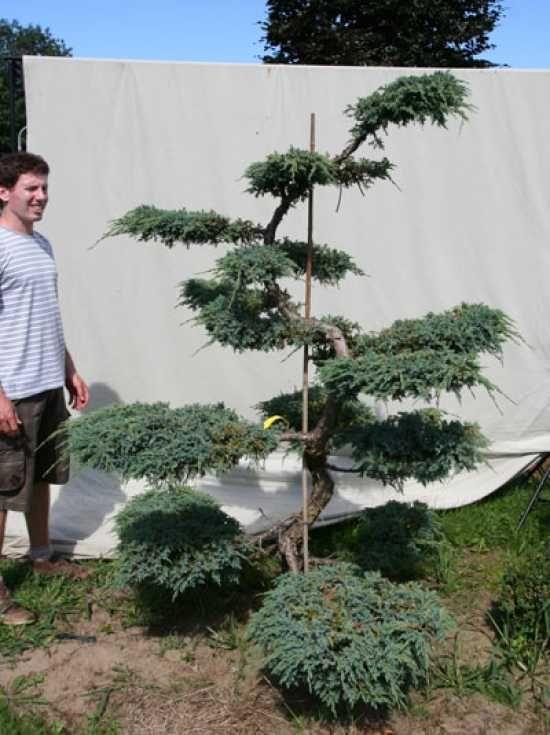 Juniperus Squamata Niebieski Dywan H 200 Cm B 150 Cm Ogrodowe Bonsai 306142 Sadovye Idei Idei Ozeleneniya Sadovye Derevya