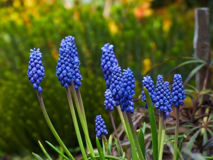 Skromne, lecz przyciągające wzrok intensywną barwą szafirki są jednymi z najbardziej wyczekiwanych kwiatów wiosny:) Te niewielkie rośliny cebulowe świetnie sprawdzają się na skalniakach, często też sadzi się je na obwódkach rabat. Nie są kapryśne, rosną dosłownie w każdym podłożu, lubią stanowiska słoneczne, lecz urosną także w miejscu lekko zacienionym.