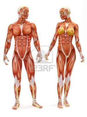 Male and Female musculoskeletal system isolated on a white background .Part of a muscle medical series.  Stock Photo