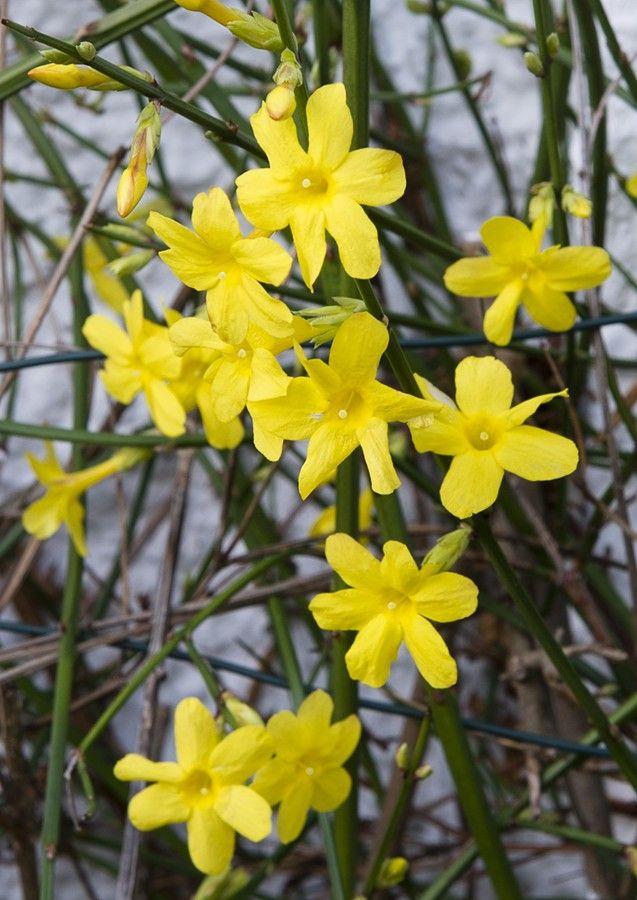 Winter jasmine (Jasminum nudiflorum)  bright yellow flowers appear in winter or early spring,