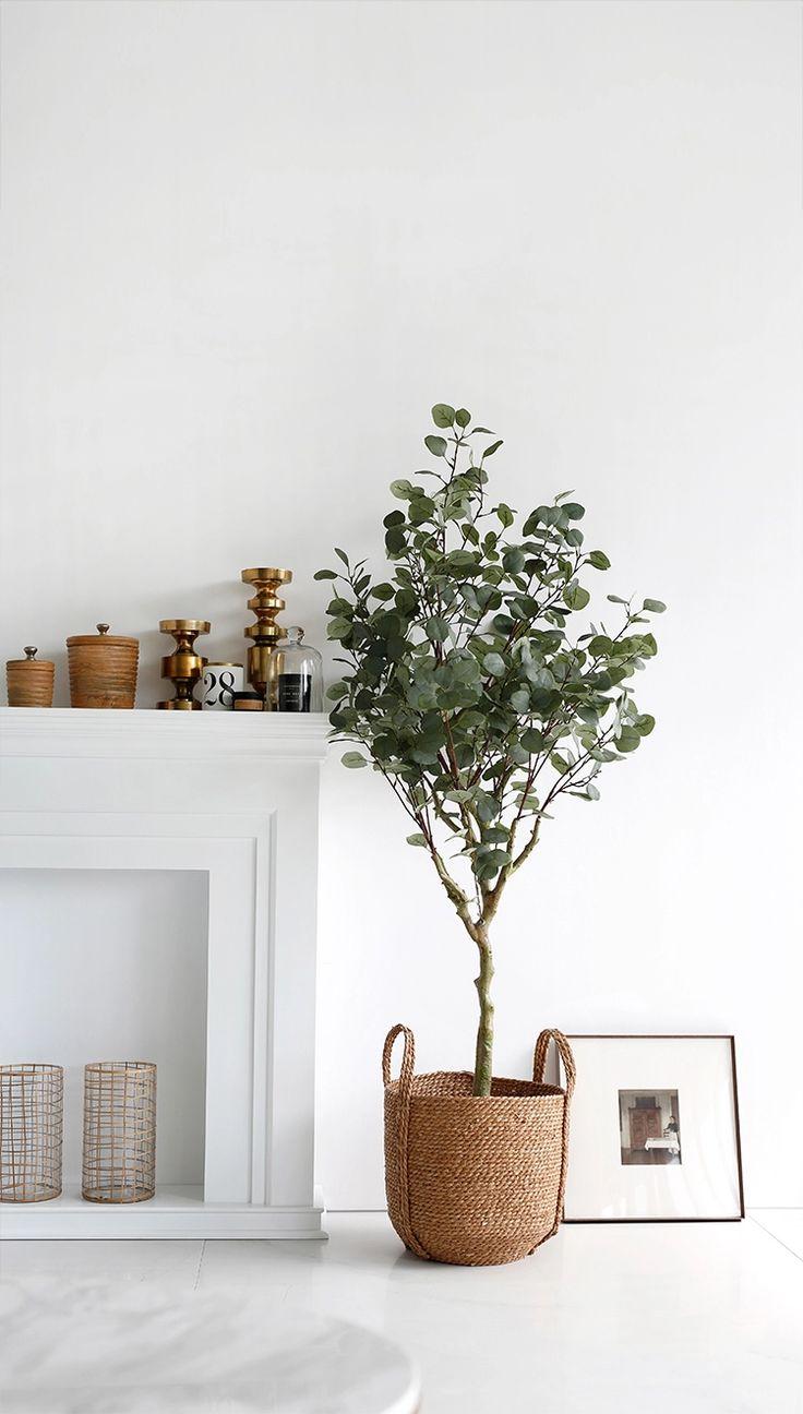 Eucalyptus Houseplant How To Grow Eucalyptus In A