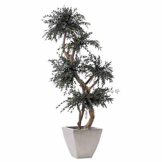 Eucalyptus Parvifolia Arbore Stabilizat 1.5 m