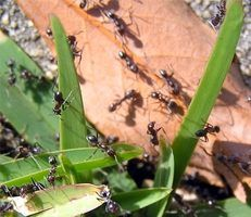 Ant infestations can be controlled with natural products.