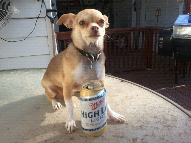 chihuahua beer moxie the chihuahua enjoying her beer she gets mean if 3881