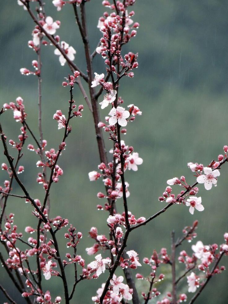 Ciruelo de sombra en flor