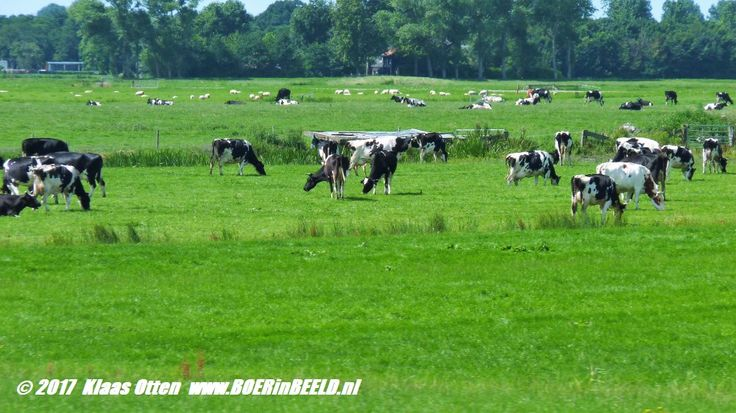 Dutch cows! 💗💗💗💗 Nederlandse (melk)koeien! 💗💗💗💗