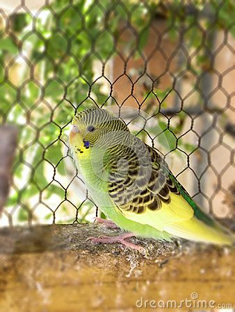 A close-up view of a green and yellow pied fledgling in an aviary.