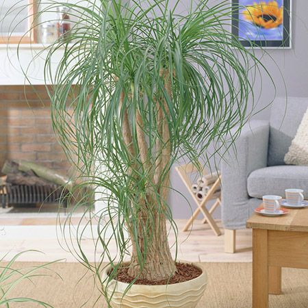 Best 25 indoor palms ideas on pinterest big plants big for Ponytail palm cats
