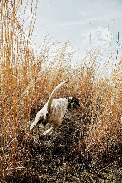 A bird dog on a scent  Photo by Peter Frank Edwards