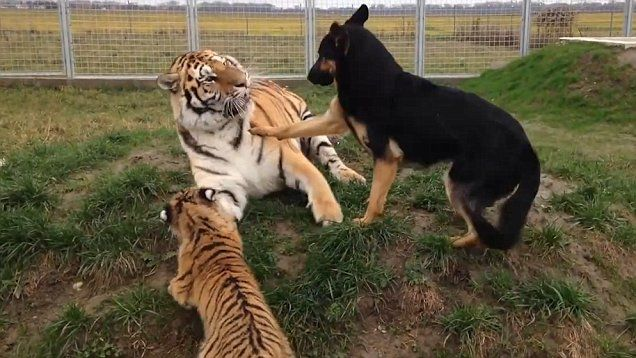 Friendship between a pack of dogs and two tigers proves that cats and dogs really can get along.