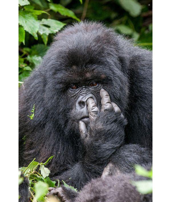 Картинки по запросу смешные картинки с гориллами
