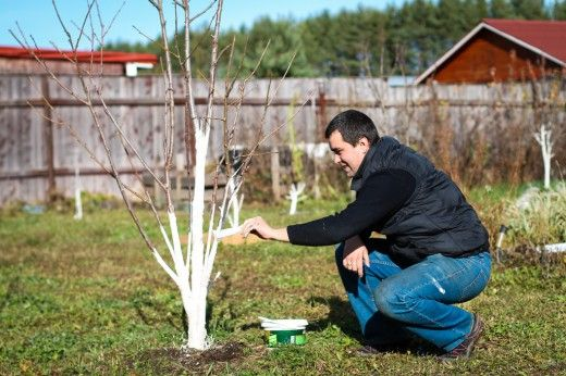 Весенняя обработка плодового сада от вредителей Весенние агротехнические мероприятия в саду начинаем с подготовки к обработке плодовых культур от болезней и вредителей.