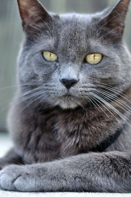 Pictures Of Smokey Grey Cats