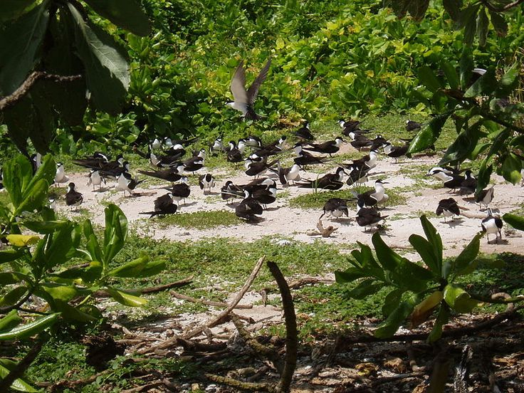 Seabirds nesting on South Brother island in the Chagos Archipelago