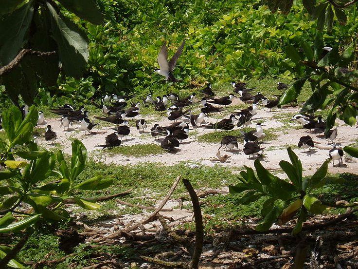 Seabirds nesting on South Brother island in the Chagos Archipelago