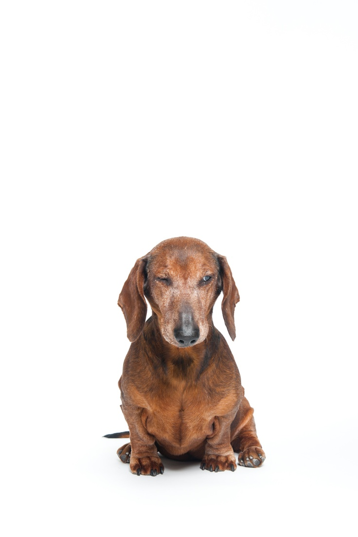 66 best Dachshunds images on Pinterest | Dachshund dog, Sausages and ...