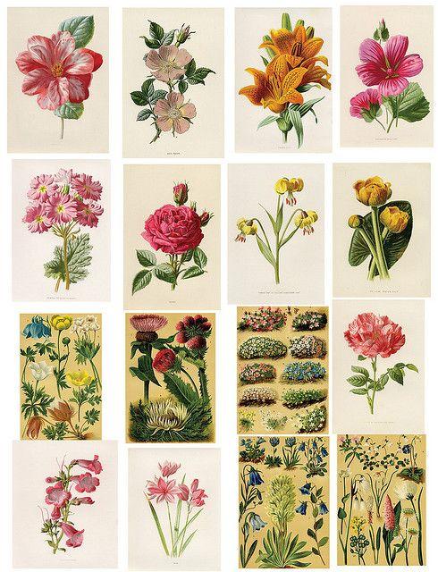 printables: Vintage Flower, Botanical Illustration, Vintage Floral, Free Collage, Vintage Printable, Free Printables