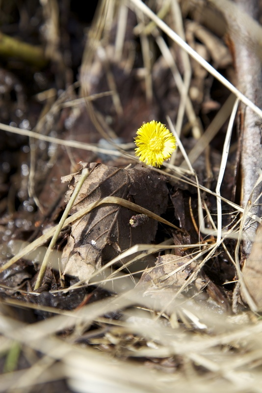 Coltsfoot blossom = Spring! In northern Ohio usually April 1st.
