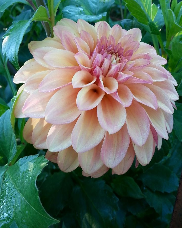 534 best a rainbow of petals dahlia images on pinterest for Rainbow petals