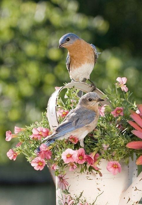 Cali blue birds, they often visit my backyard