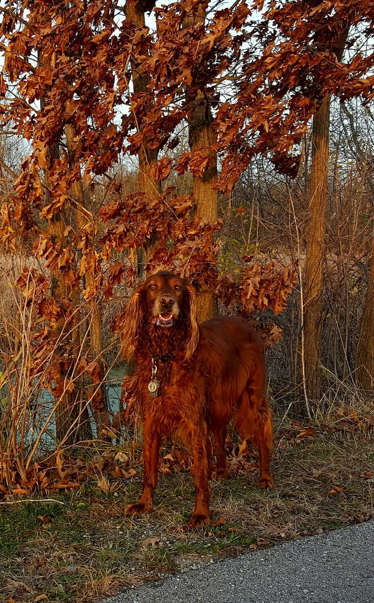 Setter en herfstblad lijken op elkaar qua kleur.