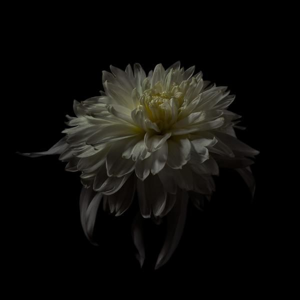 How is something both living and utterly still? This flower, freshly plucked, brought into the studio and preserved by the camera is cast into eternity. Don't e