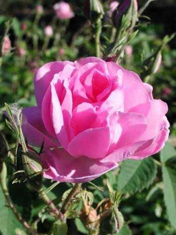 Rose otto (rosa damascena) - smells like the most beautiful vintage rose garden and tastes so sweet & divine in desserts. Rose otto also has the ability to soothe skin, help heal rosacea and boost poor circulation. It also makes a great anti-wrinkling oil