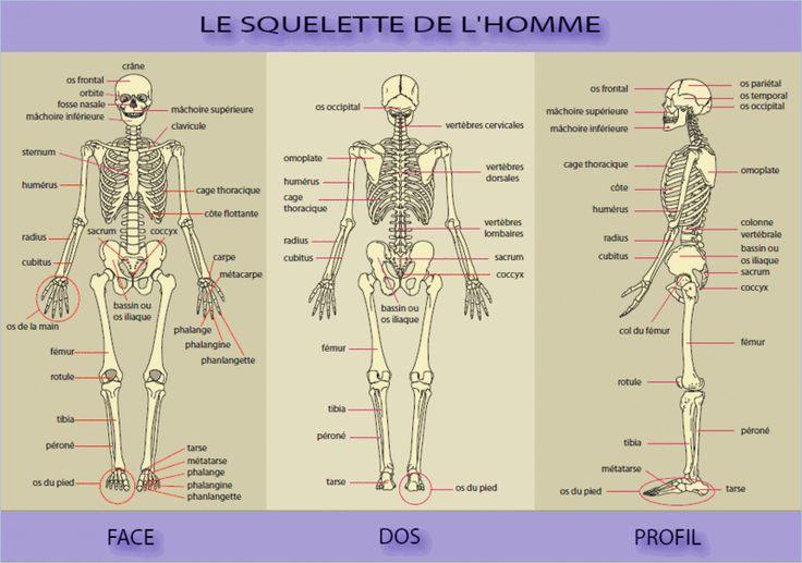 25 best ideas about squelette humain on pinterest anatomie squelette os squelette humain et. Black Bedroom Furniture Sets. Home Design Ideas