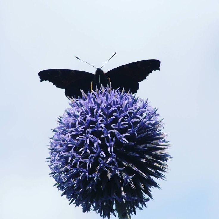 ~ Am butterflyman and this is MY planet ~  #butterfly #butterflyman  #flower #nature
