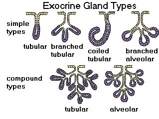 Different types of exocrine glands.