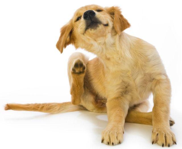 Alivia la picazón de tu perro con un aerosol hecho en casa