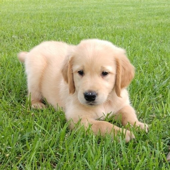 Adorable Dark Red Golden Retriever Puppies In 2020 Retriever