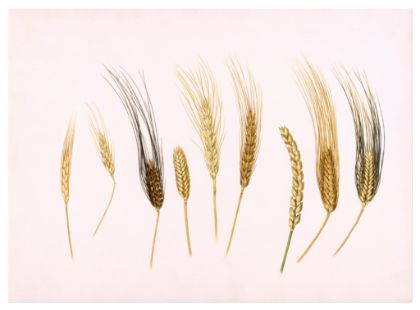 A Painting Of Different Kinds Of Wheat